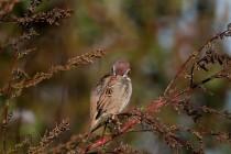 00101-Tree_Sparrow