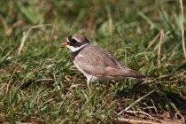 00865-Common_Ringed_Plover