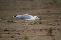 00878-Yellow-legged_Gull