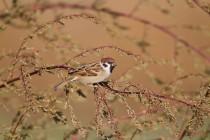 00894-Eurasian_Tree_Sparrow