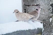 00895-Eurasian_Collared_Doves