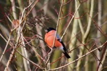 00899-Eurasian_Bullfinch