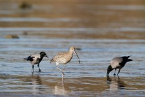 00907-Eurasian_Curlew_and_Hooded_Crows