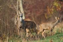 00910-Roe_Deer