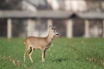 00911-Roe_Deer