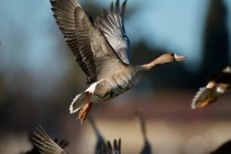00629-White-fronted_Goose