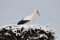 00912-White_Stork