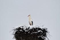 00913-White_Stork