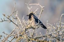 00915-Hooded_Crow
