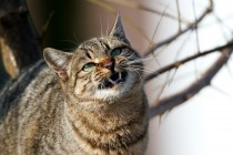 00919-Domestic_Cat