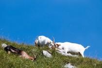 00920-Domestic _Goats_O