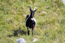 00923-Domestic_Goat