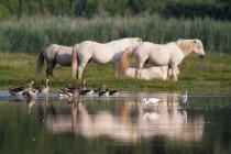 00925-Camargue_Horses_greylag_Geese_O