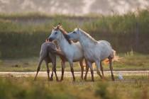 00926-Camargue_Horses