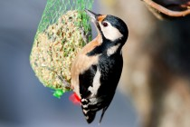 00930-Great_Spotted_Woodpecker