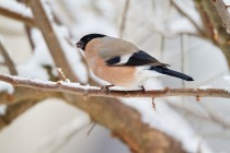 00963-Eurasian_Bullfinch