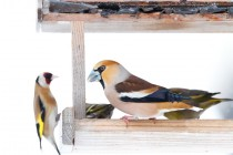 00964-Finches