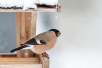 00969-Eurasian_Bullfinch
