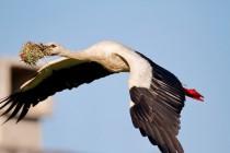 00971-White_Stork