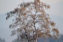 00974-Downy_Birch