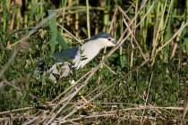 00980-Black-crowned_Night_Heron