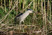 00982-Black-crowned_Night_Heron