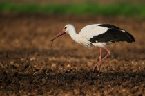00988-White_Stork