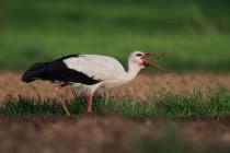 00989-White_Stork