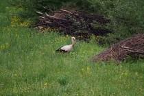 00990-White_Stork