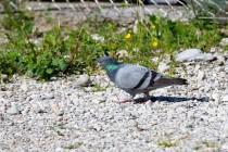 00995-Domestic_Pigeon_O