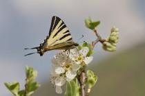 01005-Scarce_Swallowtail