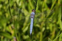 01016-Southern_Skimmer
