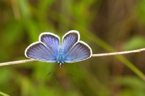 01018-Silver-studded_Blue