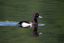 01031-Tufted_Duck
