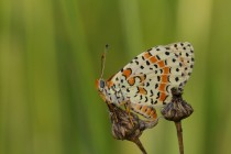 01039-Spotted_Fritillary