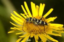 01053-Longhorn_Beetle