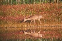 01065-Roe_Deer_O