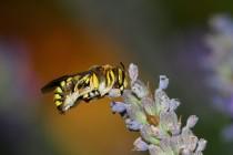 01081-Wild-Bee