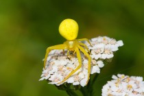 01090-Goldenrod_Crab_Spider