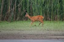01091-Roe_Deer_O