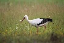 01092-White_Stork