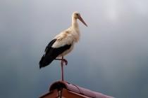 01116-White Stork