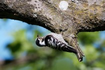 01122-Lesser Spotted Woodpecker