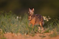 01125-Brown Hare
