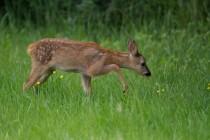 01126-Roe Deer