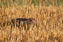 01127-Brown Hare