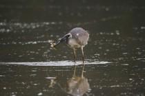 01134-Grey Heron