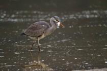 01135-Grey Heron