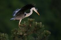 01136-Grey Heron