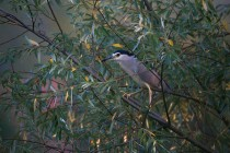 01137-Black-crowned Night Heron